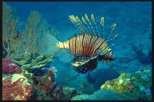 The lion-fish.