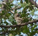 Совенок в лесу Джаханпана