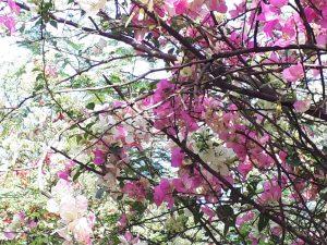 Цветы бугенвиллии в марте